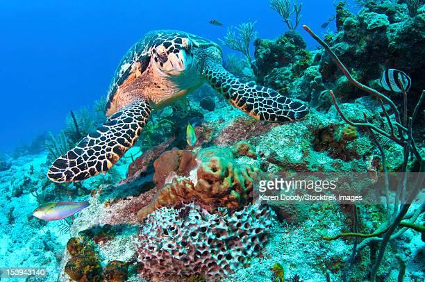 Hawksbill Turtle feeding on sponge, Caribbean Sea, Mexico.