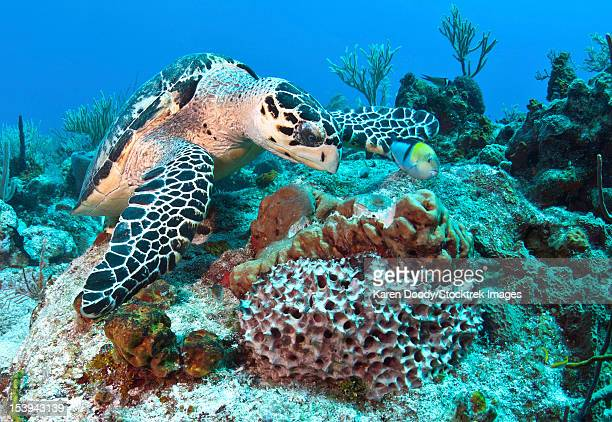hawksbill turtle feeding on sponge in caribbean sea, mexico. - hawksbill turtle stock pictures, royalty-free photos & images
