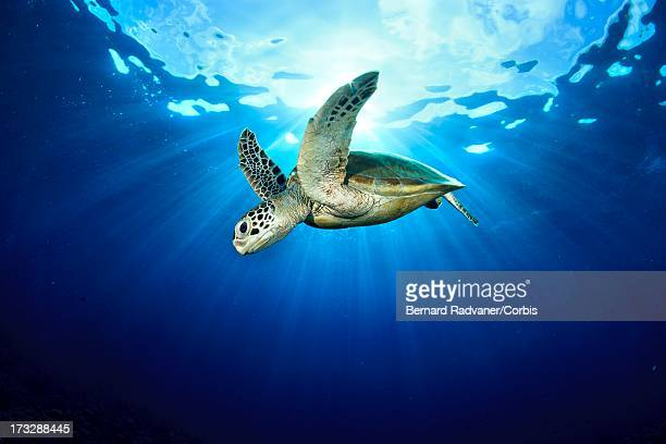 hawksbill turtle in blue water - hawksbill turtle stock pictures, royalty-free photos & images