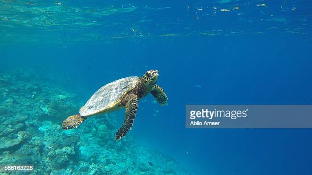 hawksbill turtle on reef - hawksbill turtle stock pictures, royalty-free photos & images