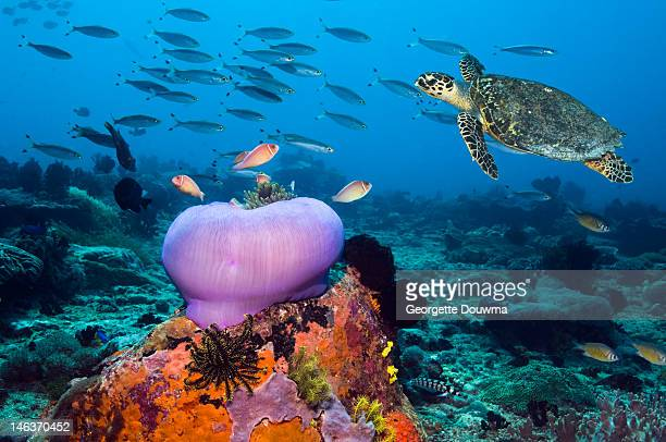 hawksbill turtle (eretmochelys imbricata) - ocean floor stock pictures, royalty-free photos & images