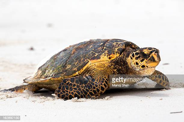 hawksbill turtle - hawksbill turtle stock pictures, royalty-free photos & images