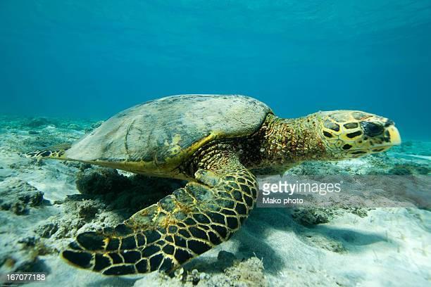 hawksbill turtle - comores photos et images de collection