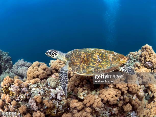 hawksbill turtle resting on pretty soft coral covered reef - hawksbill turtle stock pictures, royalty-free photos & images