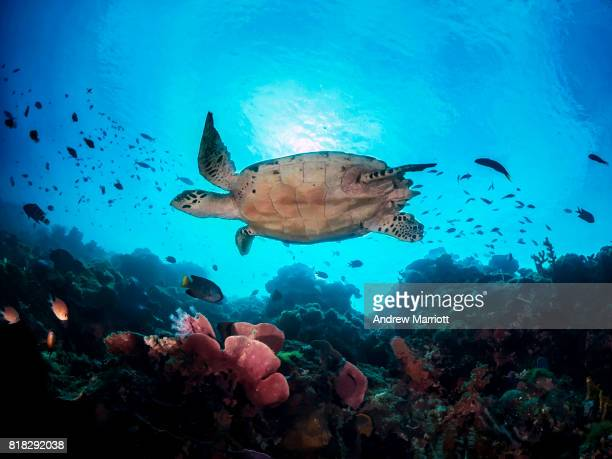 Hawksbill turtle swimming and backlit by sun