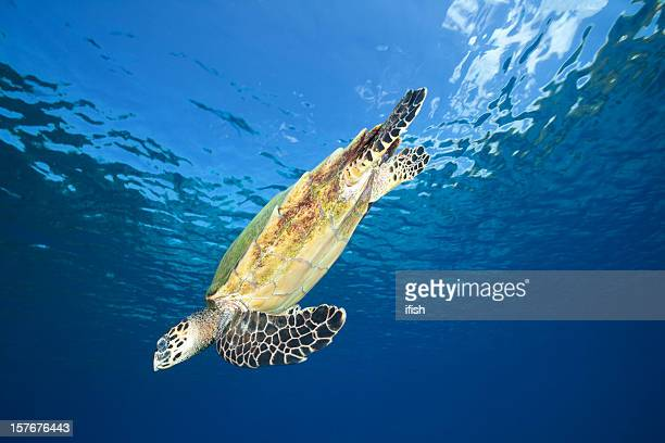 hawksbill turtle swimming back to deep after breathing, komodo, indonesia - hawksbill turtle stock pictures, royalty-free photos & images