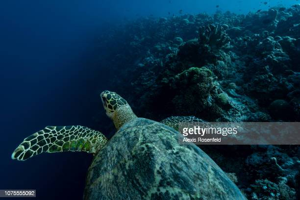 A hawksbill turtle swimming over a dropoff on April 24 2018 in Tubbataha Philippines In the heart of the Sulu Sea in the Philippines the Tubbataha...