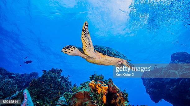 hawksbill turtle swimming over coral, cozumel - hawksbill turtle stock pictures, royalty-free photos & images