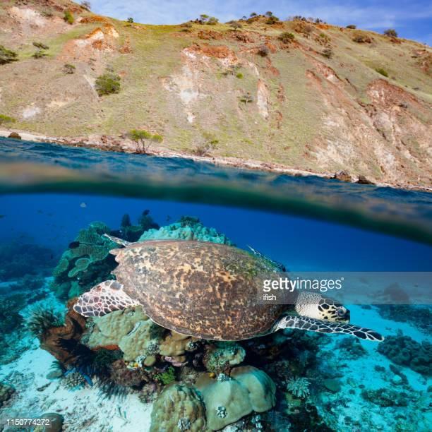 Hawksbill Turtle Swimming over Coral Reef, Dry Season on Komodo Island, Indonesia
