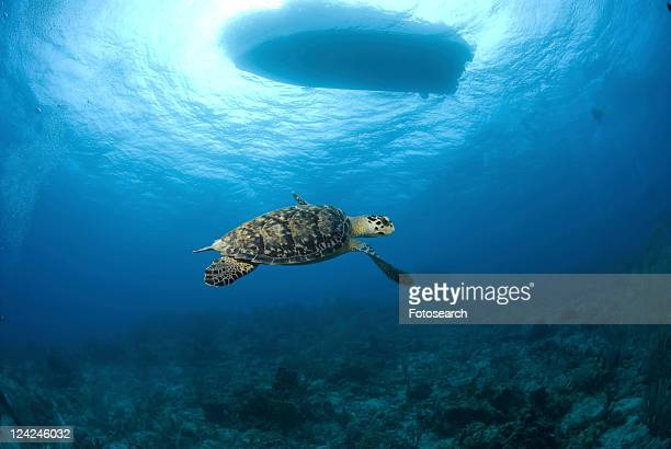 Hawksbill Turtle (Eretmochelys imbriocota), swimming over coral reef with boat silhouette above, Little Cayman Island, Cayman Islands, Caribbean