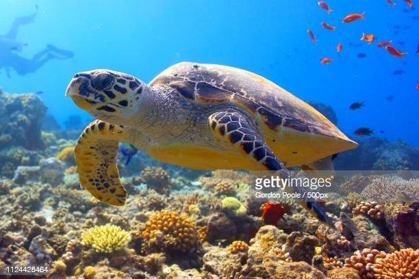 hawksbill turtle with antheas - hawksbill turtle stock pictures, royalty-free photos & images