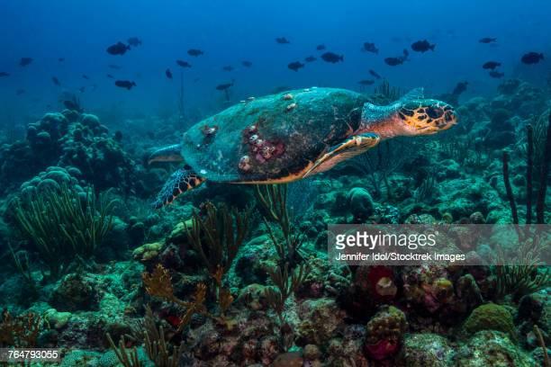 Hawksbille sea turtle swimming across a reef in St. Croix, U.S. Virgina Islands.
