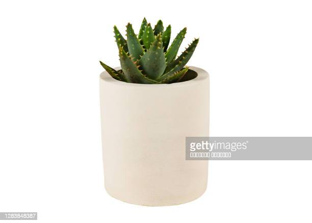 haworthia succulent garden container plant endemic southern africa in white concrete planter pot - succulent stock pictures, royalty-free photos & images