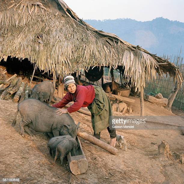 Hawpiya tends to her pigs in the Ban Nam Lai Akha village The Akha are a hill tribe of subsistence famers known for their artistry This is one of the...