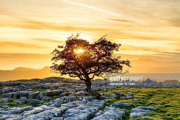 Hawthorn and sunset
