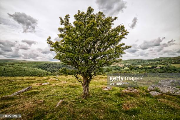 hawthorn at bench tor - hawthorn,_victoria stock pictures, royalty-free photos & images