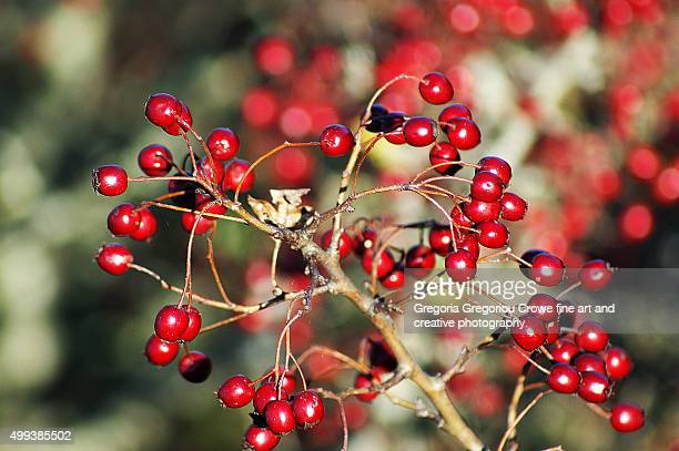 hawthorn berries - gregoria gregoriou crowe fine art and creative photography. stock photos and pictures