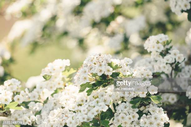 hawthorn blossom in spring - mois de mai photos et images de collection