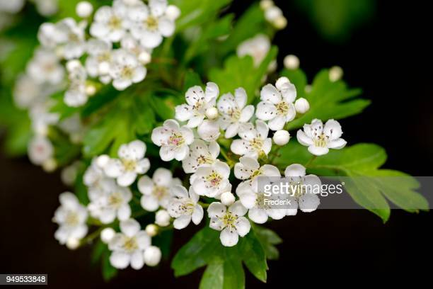 hawthorn (crataegus), branch with white flowers, north rhine-westphalia, germany - may flowers stock pictures, royalty-free photos & images