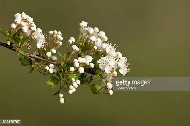 Hawthorn Crataegus cultivar