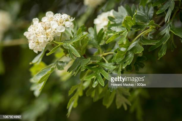 hawthorn (crataegus) flowers - may flowers stock pictures, royalty-free photos & images