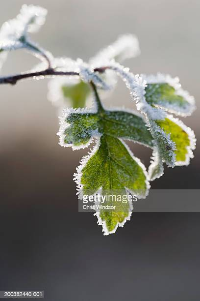 Hawthorn leaf covered in frost, close-up