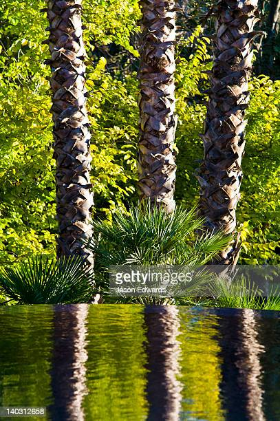 A trio of Mexican Fan Palm tree reflected in a swimming pool surface.