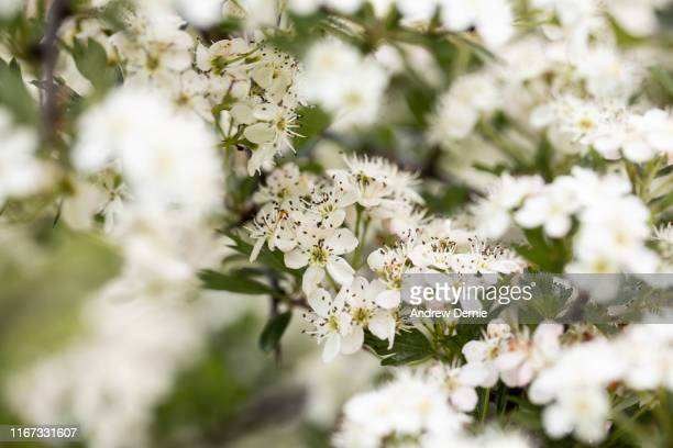 hawthorn - andrew dernie stock pictures, royalty-free photos & images