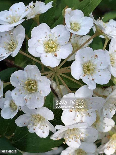 Hawthorn (Biancospino)