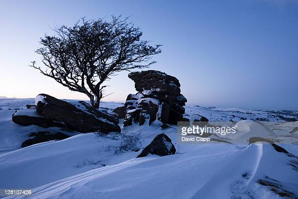 hawthorn (crataegus monogyna) tree and rock outcrop at saddle tor, covered in heavy snow drift, dartmoor, devon, england, uk - south west england stock pictures, royalty-free photos & images