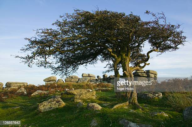 a hawthorn tree at combestone tor, nr dartmeet, dartmoor national park, devon, great britain. - hawthorn,_victoria stock pictures, royalty-free photos & images