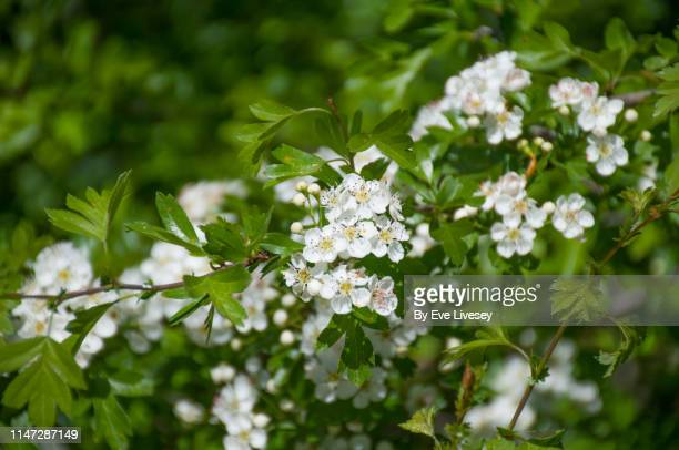 hawthorn tree flowers - hawthorn,_victoria stock pictures, royalty-free photos & images