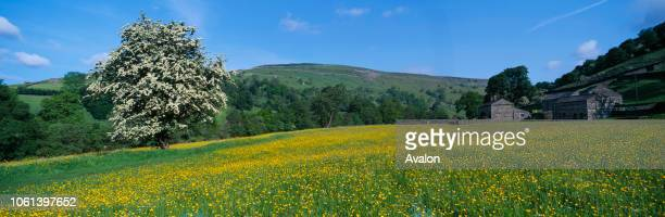 Hawthorn Tree in Buttercup Meadow Swaledale Yorkshire Dales National Park North Yorkshire.
