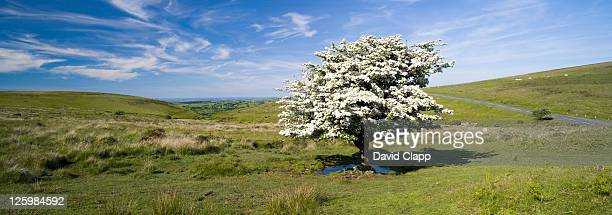 hawthorn tree (crataegus monogyna) in full summer blossom at challocombe cross, dartmoor, devon, england - blossom stock pictures, royalty-free photos & images