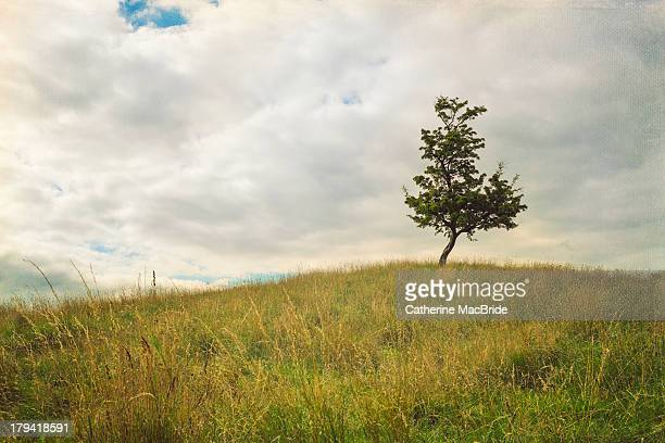 hawthorn tree on a hill - catherine macbride stock-fotos und bilder