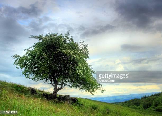Hawthorn Tree Perthshire Hills Scotland