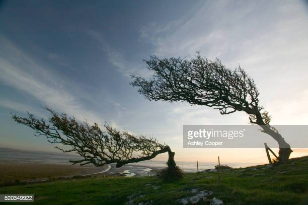 hawthorn trees bent by coastal winds - hawthorn,_victoria stock pictures, royalty-free photos & images