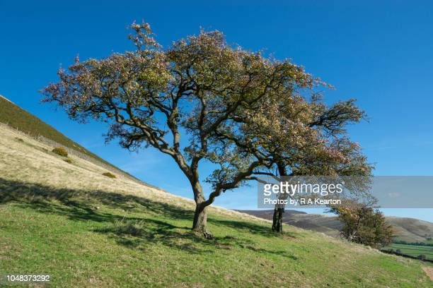 hawthorn trees on hillside in the peak district, derbyshire, england - may flowers stock pictures, royalty-free photos & images