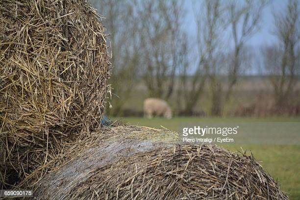 Hay Bales On Field With Sheep In Background