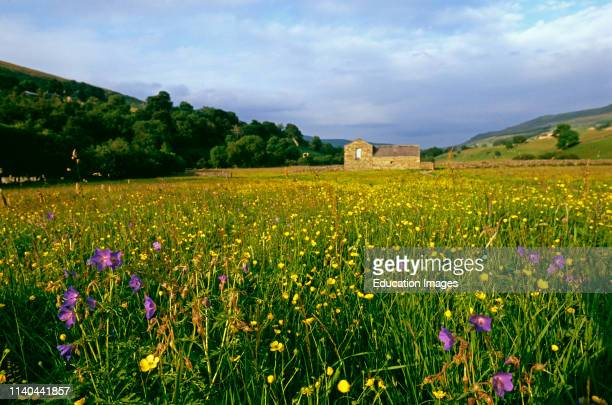 Hay Meadow with Buttercups, Bloody cranes-bill, and Wood Sorrel in summer Yorkshire Dales.