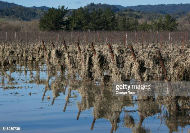 Hay used for erosion control covers a flooded Russian River Valley vineyard following a series of heavy storms as viewed on January 13 near...