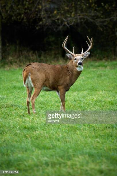 Hayfield whitetail