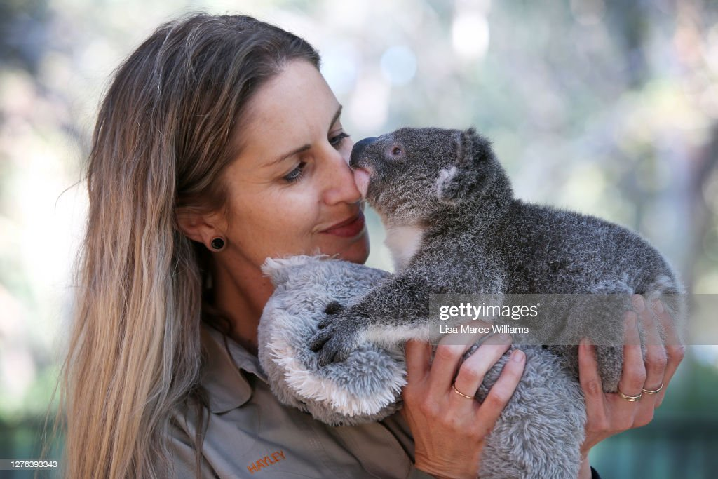Koala Joeys Born In Captivity Bring Hope For Species Numbers Following Bushfires : ニュース写真