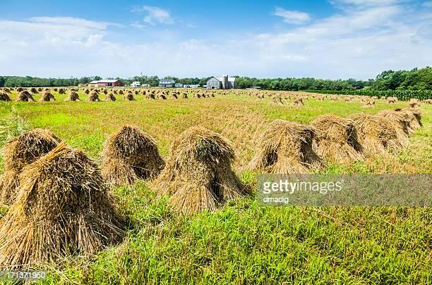 Haystacks Trocknen in einem Feld auf einer Farm
