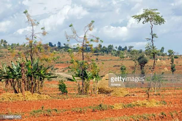Haystacks on barren farmland in southern Ethiopia between Konso and Jinka, Africa.