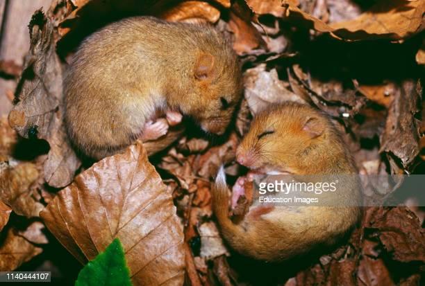 Hazel Dormice, Muscardinus avellanarius, sleeping, Kent, UK.