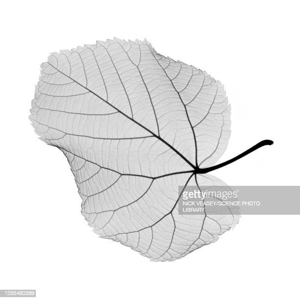 hazel leaf, x-ray - x ray image stock pictures, royalty-free photos & images