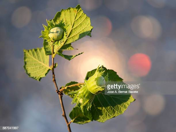 A hazel twig with a green hazel