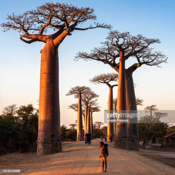 he avenue of the baobabs (alley of the baobabs), between morondava and beloni, menabe region of western madagascar - madagascar fotografías e imágenes de stock