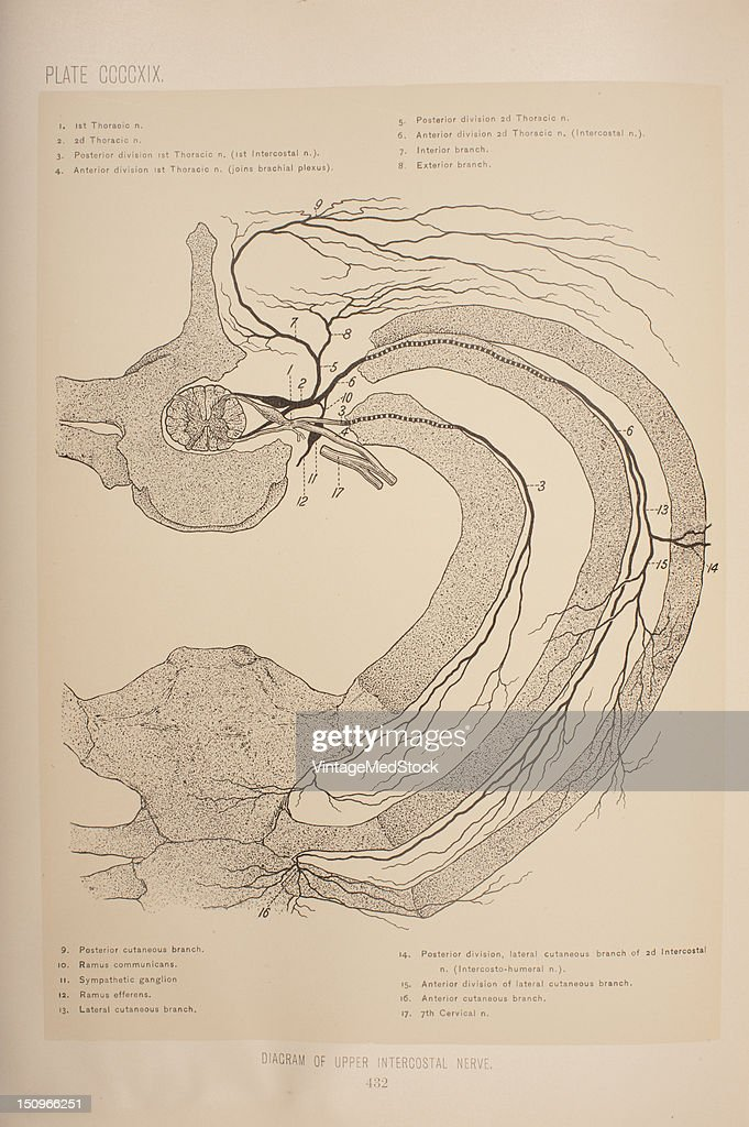 Diagram Of The Upper Intercostal Nerve Pictures | Getty Images